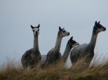 alpacas_07