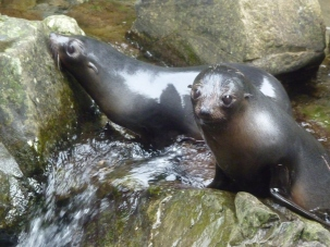 Baby NZ Fur seals
