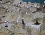 Cormorant nests