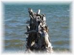 old-stump
