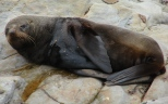NZ Fur seal 1