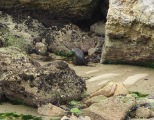 NZ Fur seal 2