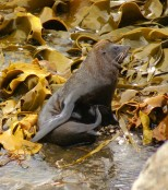 NZ Fur seal 3